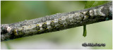 Hibiscus Leaf Moth Caterpillar Anomis commoda #8347
