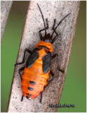 Small Milkweed Bug-Nymph