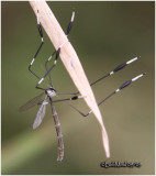 Phantom Cranefly