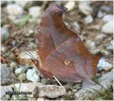 Question Mark-Form fabricii (Female-Winter)Polygonia interrogationis