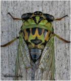 Linne's Cicada-Female