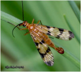 Scorpion Fly-Male