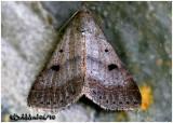 Bent-winged Owlet Moth Bleptina caradrinalis  #8370