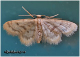 Idaea bonifata MothIdaea bonifata #7102