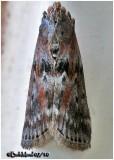 Black-spotted Leafroller MothSciota virgatella #5797