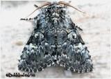 The Laugher MothCharadra deridens #9189
