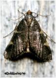 Dolichomia olinalis  MothDolichomia olinalis  #5533