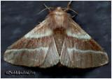 Eastern Tent Caterpillar MothMalacosoma americanum #7701