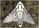 Leopard MothZeuzera pyrina  #2700