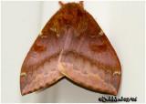 IO Moth-FemaleAutomeris IO #7746