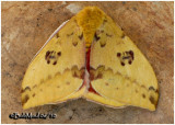 IO Moth-MaleAutomeris IO #7746