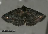Black Zale MothZale undularis #8695
