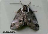 Small Baileya MothBaileya australis #8973
