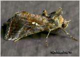 Two-spotted Looper MothAutographa bimaculata #8911