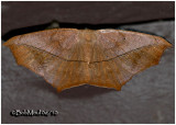 Large Maple Spanworm MothProchoerodes linelola #6982