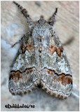Northern Pine Tussock MothDasychira plagiata  #8304