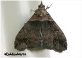 Ambiguous Moth-MaleLascoria ambigualis #8393