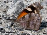 American SnoutLibytheana carinenta