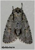 Lobelia Dagger MothAcronicta lobeliae   #9238