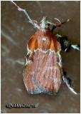 Boxwood Leaftier MothGalasa nigrinodis   #5552