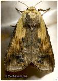 Black-spotted Prominent MothDasylophia anguina   #7957