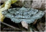 Signate Melanolophia MothMelanolophia signataria #6621