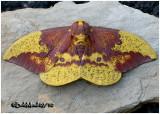 Imperial Moth-MaleEacles imperialis #7704