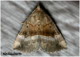 Gray-edged Bomolocha MothHypena madefactalis  #8447