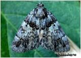 False Underwing MothAllotria elonympha #8721