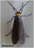 Yellow-collared Scape MothCisseps fulvicollis #8267