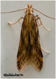 Burdock Seedhead MothMetzneria lappella  #1685
