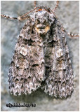 Raspberry Bud Dagger  Moth Acronicta increta #9249