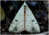 Dead-wood Borer Moth Scolecocampa liburna #8514