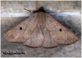 Red-lined Panopoda Moth Panopoda rufimargo#8587