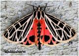 Virgin Tiger  MothGrammia virgo #8197