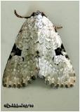 Green Leuconycta MothLeuconycta diphtheroides #9065