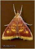 Mint-loving Pyrausta MothPyrausta acrionalis  #5071
