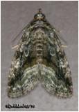 Large Mossy Lithacodia MothProtodeltote muscosula  #9047