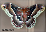 Promethea Moth-FemaleCallosamia promethea #7764
