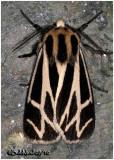 Genus Apantesis 1