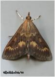 European Corn Borer Moth-MaleOstrinia nubilalis #4949