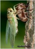 Recently Emerged Cicada