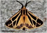 Harnessed Tiger MothApantesis phalerata  #8169