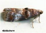 Hickory Leafstem Borer MothAcrobasis angusella  #5673
