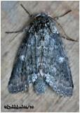 Variable Oakleaf Caterpillar MothLochmaeus manteo #7998