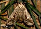 Black-spotted Prominent Moth-FemaleDasylophia anguina #7957