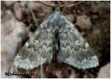 Glossy Black Idia MothIdia lubricalis  #8334
