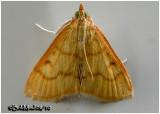 Helvibotys Helvialis  MothHelvibotys helvialis #4980
