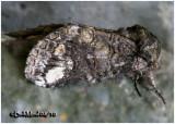 Oblique Heterocampa  MothHeterocampa obliqua  #7983