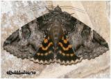Locust Underwing MothEuparthenos nubilis  #8719